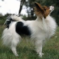 147 best images about medium dog breeds on pinterest
