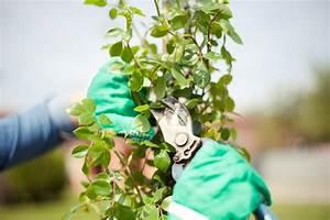 Magnolien Vermehren Durch Stecklinge : rosen durch stecklinge vermehren so wird 39 s gemacht ~ Lizthompson.info Haus und Dekorationen