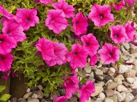 images petunias wallpapers pink petunia flowers wallpapers