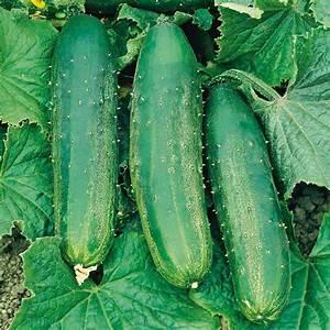 Cucumber Seeds - Burpees Bush Champion F1 - Cucumber Seeds ...