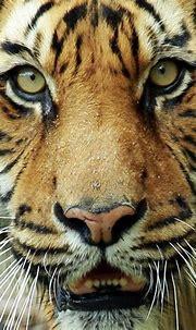 Tiger Face | Ross Wood | Flickr