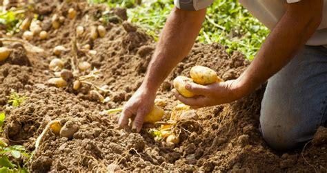 pommes de terre primeur teran 233 o