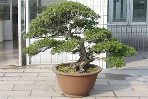 podocarpus bonsai bilder With whirlpool garten mit bonsai chinesische ulme