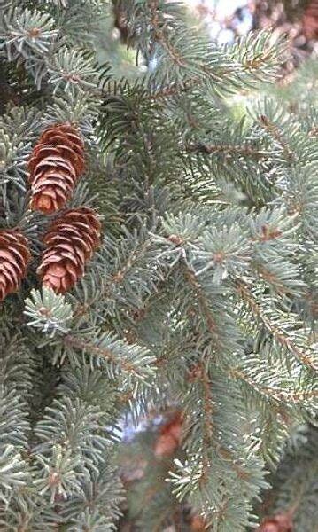 Skuju koki, krūmi - Katalogs - stadi-sakstagals.lv