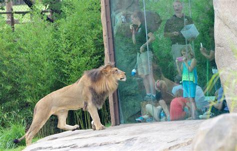 zoo exhibits cincinnati africa banned should lion botanical garden global scale support john plan girlsaskguys cincinnatizoo programs