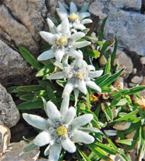 edelweiss fiore alpino stella alpina a rischio obiettivo natura