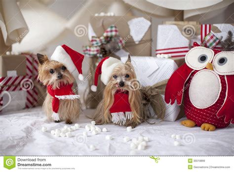 Terrier Dressed As Santa Claus Stock Photo Terrier Dogs Stock Image Image 35519899
