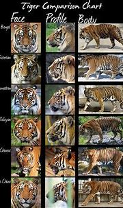 The Maltese tiger, or blue tiger, is a reported but ...