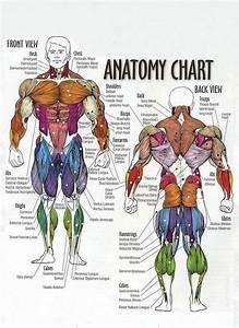 U0026quot Muscle Chart