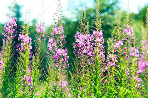 fiori selvatici viola closeup di fiori di co viola fiori selvatici nella