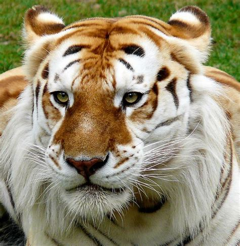 Beautiful Golden Tabby Tiger