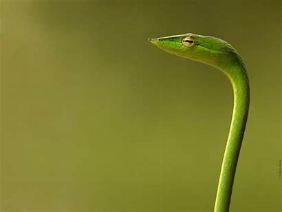 Snake Snakes Wallpapers Dangerous Vine Anaconda Pc