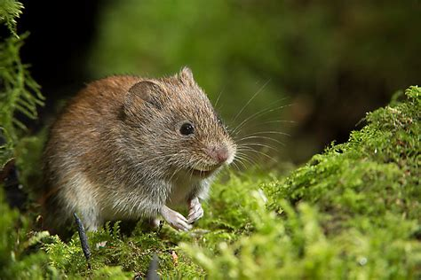 what is a vole what is a vole