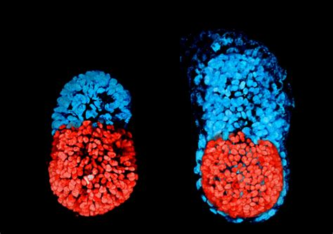 mouse embryo artificially created  stem cells sheds