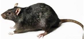Comment Tuer Un Rat : comment chasser les rats du jardin taupier sur la france ~ Mglfilm.com Idées de Décoration