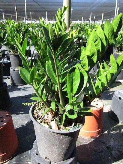 Plant Zz Bush Zamioculcas Zamiifolia