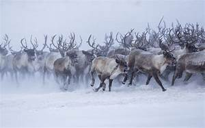 Snowing home - Reindeer spotted headed back after