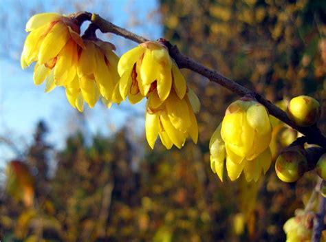fiore calicanto chimonanthus praecox piante da giardino