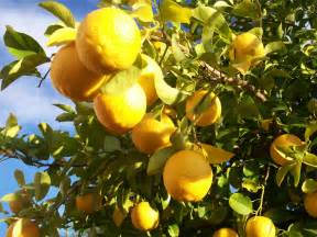 Citrus Fruit Trees Diseases Pictures