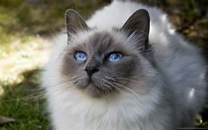 Fluffy Grey Kitten With Blue Eyes | www.pixshark.com ...
