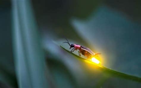 light up bug when fireflies light up the sky pet attack