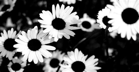 white sunflower tumblr backgrounds wallpapers gallery