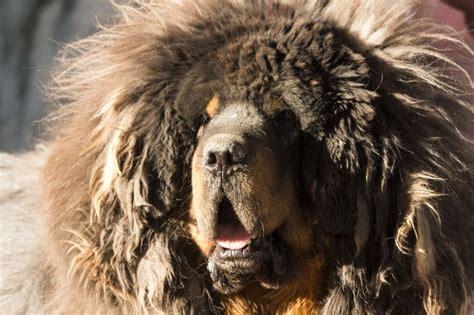 17 meilleures id 233 es 224 propos de tibetan mastiff price sur chiots dogue du tibet