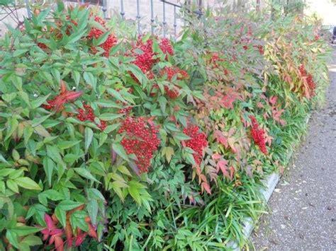 piante bellissime da giardino nandina piante da giardino nandina giardino