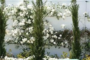 Rosier Grimpant Blanc : rosier blanc grimpant remontant images ~ Premium-room.com Idées de Décoration
