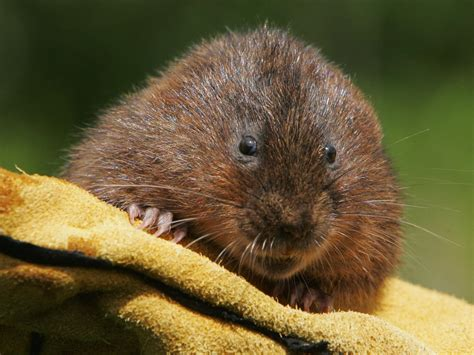 vols animal water voles to be released into british lake in biggest ever attempt to save endangered animal