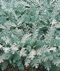 Silver Lace Dusty Miller Seeds and Plants, Annual Flower ...
