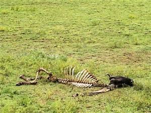 Wildebeest Skeleton, near Ngorongoro - Jess and Jer's Trip ...