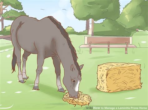laminitis horse prone manage wikihow diet