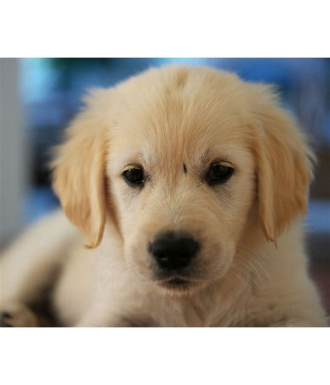 Golden Retriever Male Female Puppy Sale In Nepal