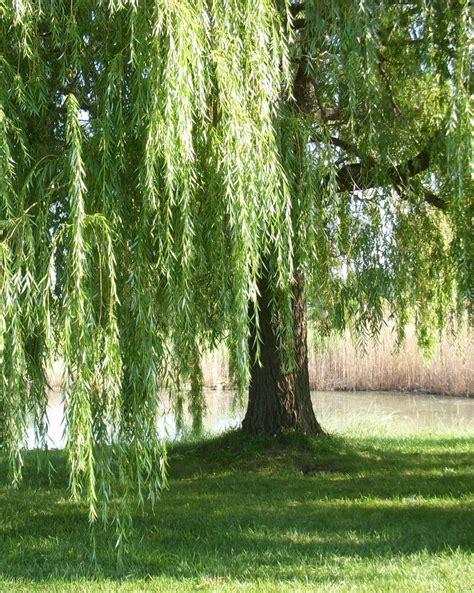 weeping willow tree weeping willow trees trees and plants pinterest