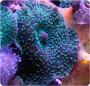 Neon Green Spot Mushroom Mushroom Anemone Actinodiscus spp