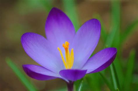 fiore crocus crocus bulbi crocus bulbi