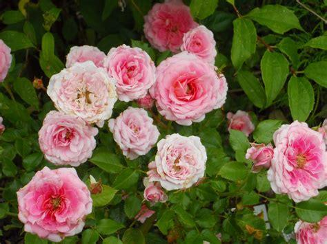 miniature roses beech street gardens september 2010