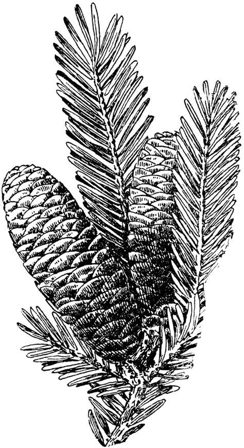 Balsam Fir Tree Cone   ClipArt ETC
