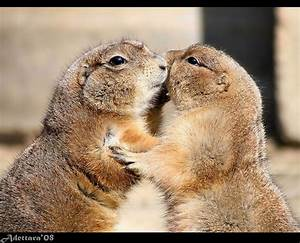 183 best images about WHISTLE PIGS- PRAIRIE DOGS on Pinterest