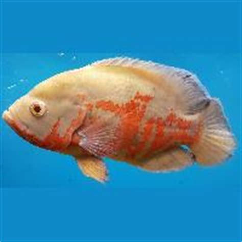 oscar fish manufacturers suppliers exporters  india