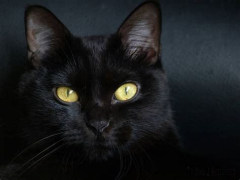 black cat superstition 7 superstitions which still give pakistanis the creeps