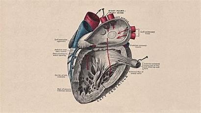 Anatomy Human Wallpapers Heart Android Laptop Desktop