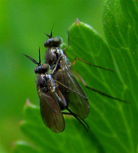 Filedipteradolichopodidaerhaphiumsp201205160240jpg