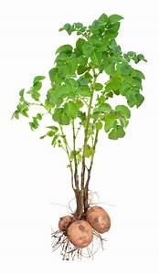 Diagram Of A Potato Plant