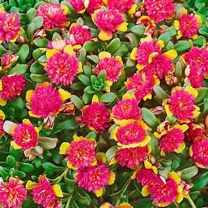 Portulak Pflanzen Kaufen : portulak r schen double yellow purple von g rtner p tschke ~ Michelbontemps.com Haus und Dekorationen