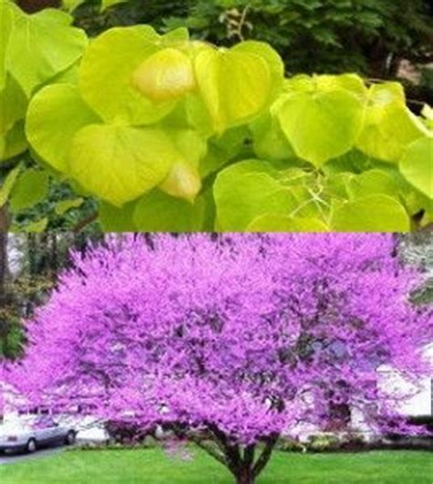 hearts of gold redbud 13 best images about redbud cercis on pinterest trees in the fall and pink flowers