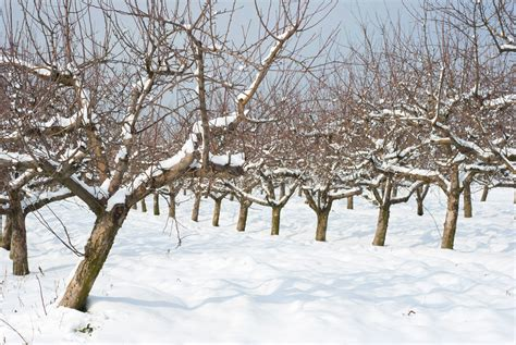 tree pruning apple trees in winter www pixshark com images galleries with a bite