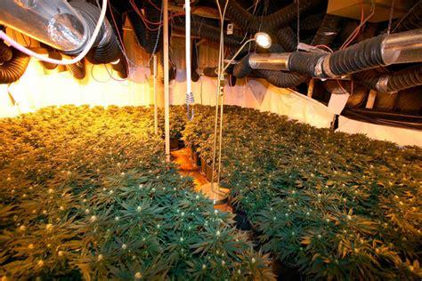 Polizei Hebt Mehrere Cannabis-plantagen In Der Ortenau Aus