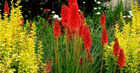 How To Grow Red Hot Poker From Seed The Garden Of Eaden